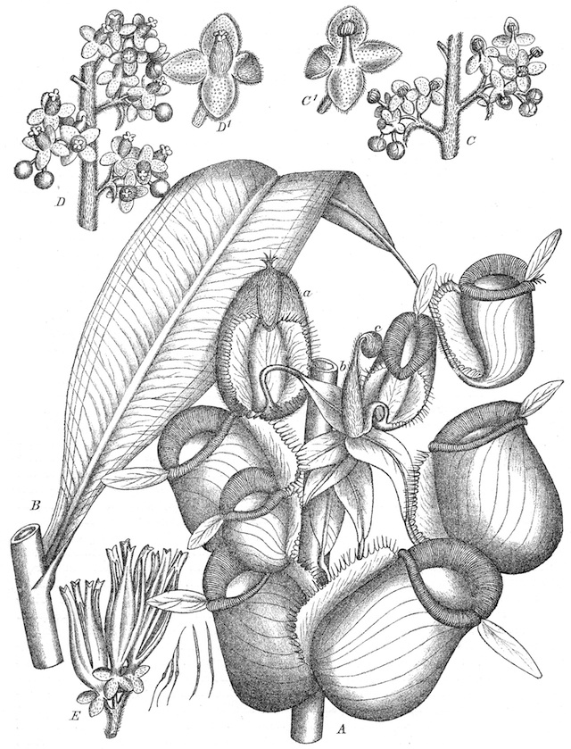 Illustration of Nepenthes ampullaria by J.M. Macfarlane (1908)