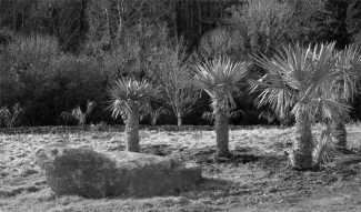 Trithrinax campestris in the foreground with Butia capitata behind